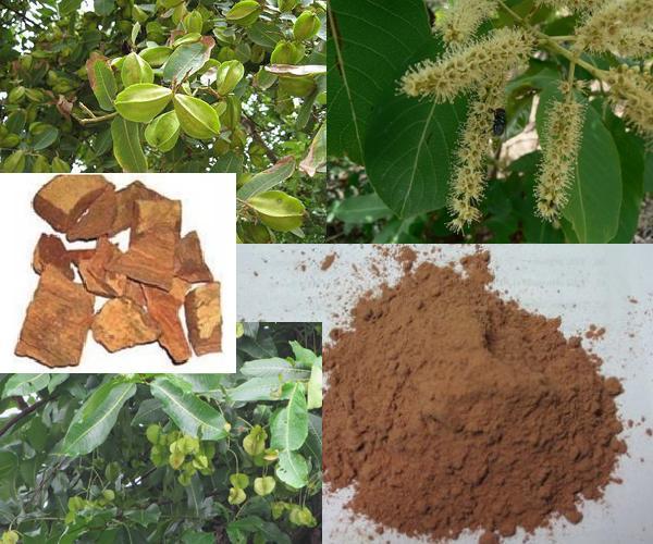Arjun's Bark Benefit for Health in bengali