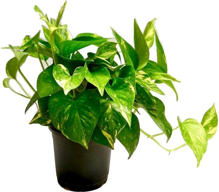 vastu plants for money at home in bengali