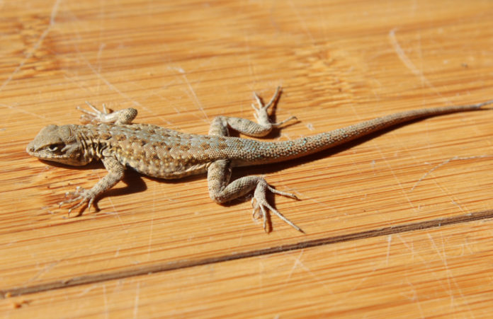 lizard appears in the house it's going to be done in bengali