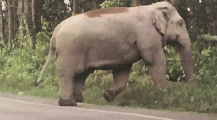 assam rogue elephant laden died forest department custody