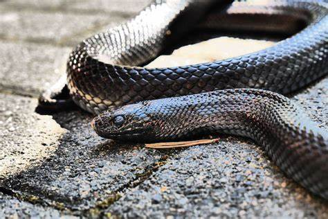 look of the black snake in dreams means in bengali