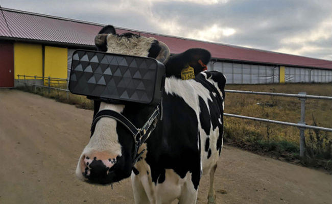 VR headset worn by cows to increase milk in bengali